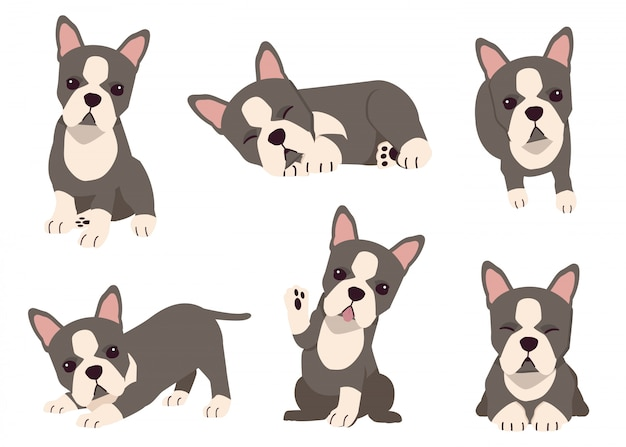 The collection of boston terrier dog in many action with flat vector style. graphic resource about set of dogs boston terrier