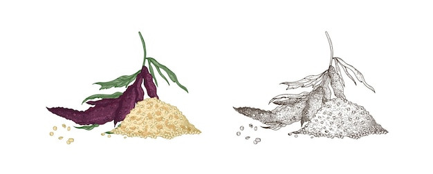 Collection of colorful and monochrome drawings of quinoa flowering plants and seeds. organic superfood product for healthy nutrition hand drawn on white background. realistic vector illustration.