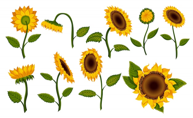 Collection decorative sunflower blossom. hand drawn sunflower with green leaves. decorative floral design elements for invitations and cards