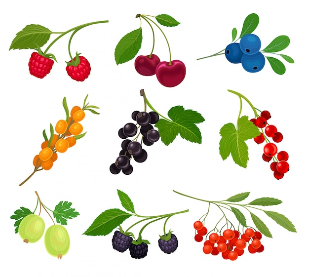 Collection of different varieties of berries on the stem with leaves.  illustration on white background.