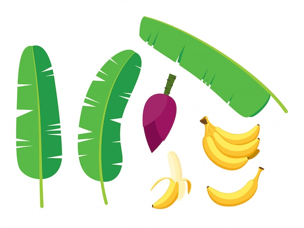 Collection of fresh banana palm tree vector set