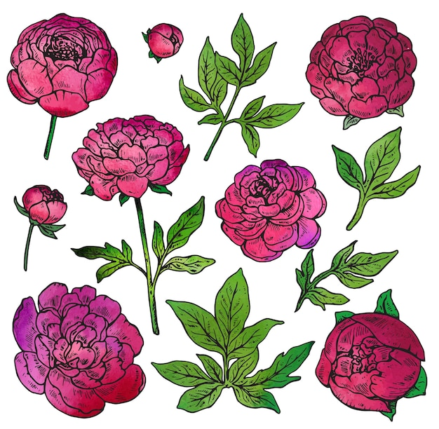 Collection of hand drawn color peony flowers and leaves isolate on white background. watercolor texture