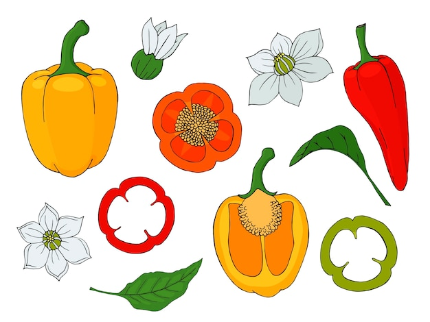 Collection of hand drawn fresh pepers. isolated image.