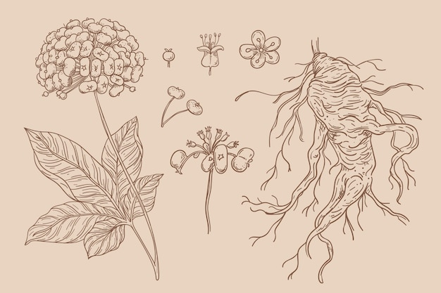 Collection of hand drawn ginseng plant
