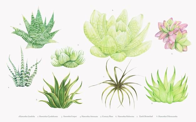 Collection of hand drawn haworthia plants