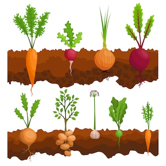 Collection if vegetables growing in the ground. plants showing root structure below ground level. organic and healthy food. vegetable garden banner. poster with root veggies.