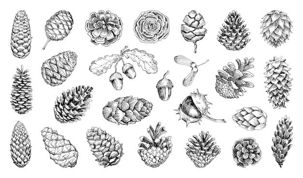 Collection of illustrations of pine cones in sketch style