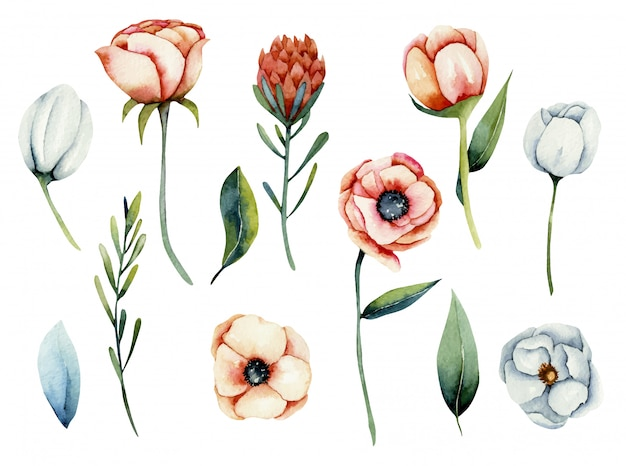 Collection of isolated watercolor white and coral anemone and protea flowers, hand painted illustration