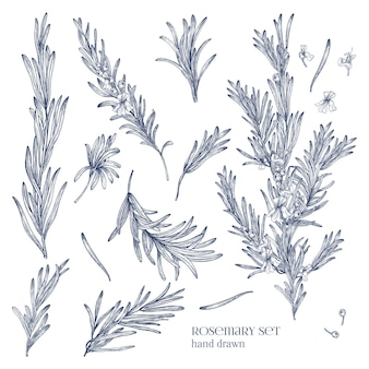 Collection of monochrome drawings of rosemary plants with flowers isolated on white