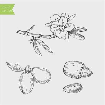 Коллекция миндального растения