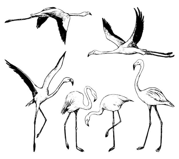 흰색 절연 아름 다운 플라밍고의 컬렉션입니다. 열대 조류의 검정 잉크 스케치입니다. 손으로 그린 벡터 일러스트 레이 션의 집합입니다. 디자인을 위한 빈티지 그래픽 요소입니다.