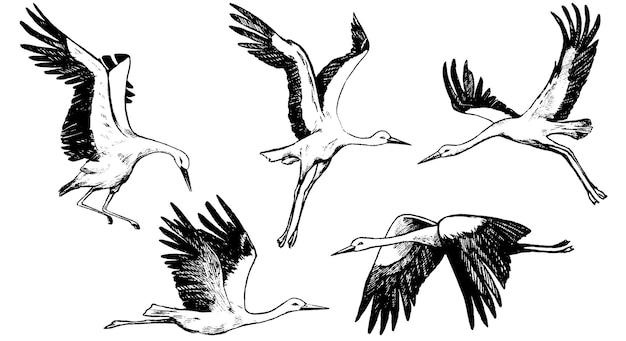 흰색으로 격리된 아름다운 비행 황새의 컬렉션입니다. 야생 조류 크레인의 검정 잉크 스케치입니다. 손으로 그린 벡터 일러스트입니다. 디자인을 위한 빈티지 요소 집합입니다.