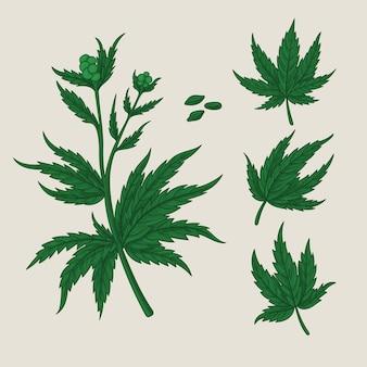 Сбор ботанических листьев конопли