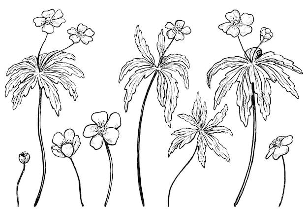 미나리 아네모네 컬렉션입니다. 야생 꽃의 집합입니다. 손으로 그린 벡터 일러스트 레이 션. 흰색 절연 식물 현실적인 잉크 스케치입니다. 디자인을 위한 개요 요소입니다.