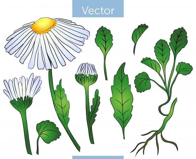 Коллекция цветов ромашки, бутонов и листьев.