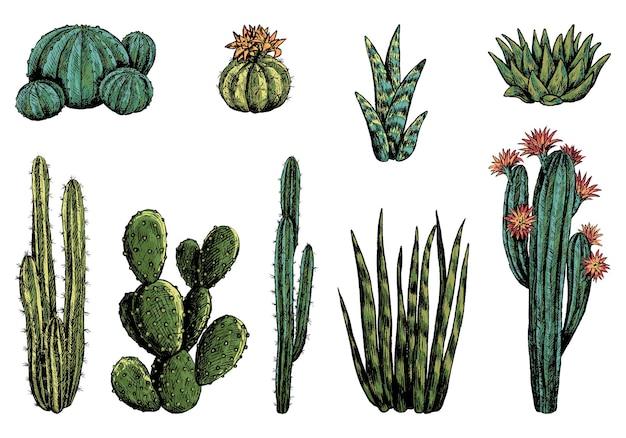 Коллекция разных кактусов. набор пустынных растений. рисованной векторные иллюстрации. винтажные ботанические зарисовки, изолированные на белом. декоративные цветные элементы для дизайна.
