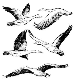 흰색 절연 비행 greylag 기러기의 컬렉션입니다. 야생 조류, 동물의 현실적인 잉크 스케치. 손으로 그린 벡터 일러스트 레이 션의 집합입니다. 디자인을 위한 블랙 빈티지 그래픽 요소입니다.