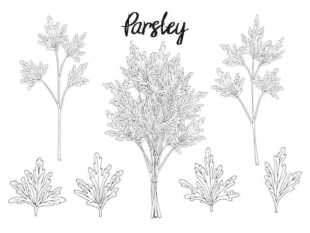 手描きの要素、パセリ、葉、束のコレクション。パッケージング、広告用のオブジェクト。孤立した画像。黒と白。