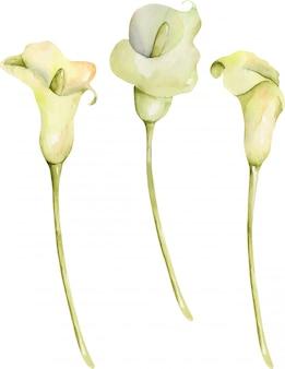 격리 된 수채화 흰색 칼라스 꽃의 수집, 흰색 배경에 손으로 그린