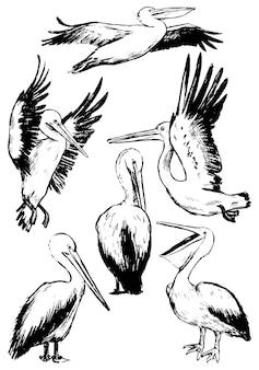 흰색 절연 펠리컨의 컬렉션입니다. 열대 조류의 현실적인 검정 잉크 스케치입니다. 손으로 그린 벡터 일러스트 레이 션의 집합입니다. 디자인, 장식을 위한 빈티지 그래픽 요소입니다.