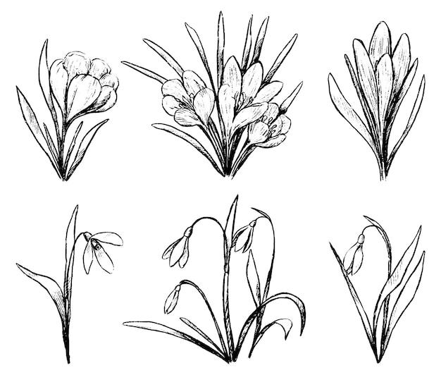 春の植物のコレクション。クロッカス、スノードロップのセット。白で隔離のヴィンテージ植物スケッチ。手描きのベクトル図です。デザインのアウトライン要素。