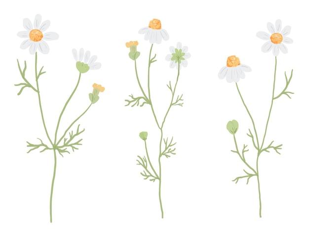 白で隔離される白いカモミールの花のコレクション
