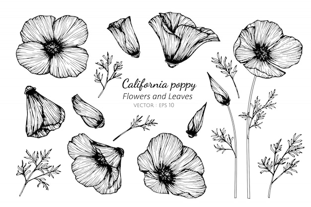Collection set of california poppy flower and leaves drawing illustration.