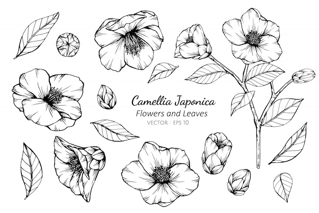 Collection set of camellia japonica flower and leaves drawing illustration.