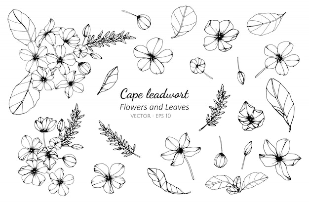 Collection set of cape leadwort flower and leaves drawing illustration.