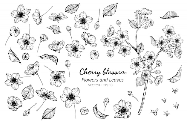 Collection set of cherry blossom flower and leaves drawing illustration.