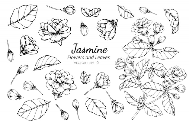 Collection set of jasmine flower