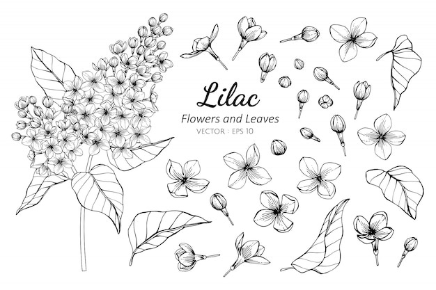 Collection set of lilac flower