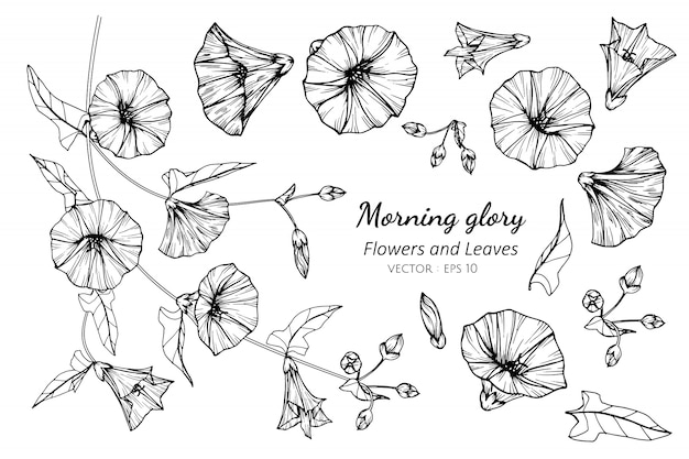 Collection set of morning glory flower and leaves drawing illustration.