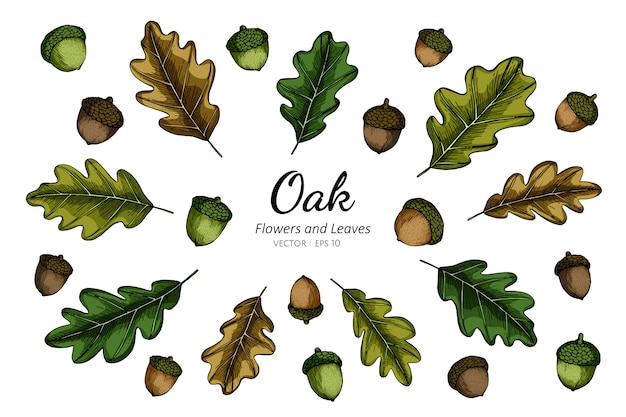 Collection set of oak nut and leaves drawing illustration.