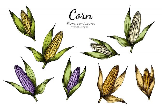 トウモロコシの描画図のコレクションセット。