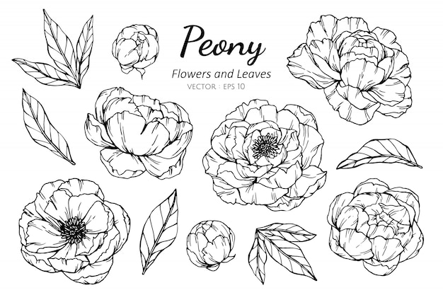 Collection set of peony flower and leaves drawing illustration.