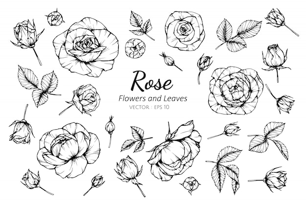 Collection set of rose flower and leaves drawing illustration.