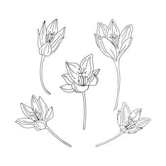 Collection set of saffron flower illustration. delicate line art drawings of spring flowers.