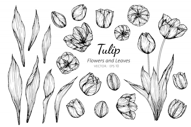 Collection set of tulip flower