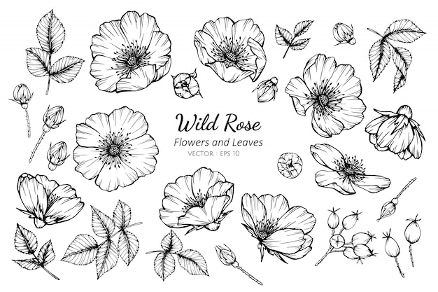 Collection set of wild rose flower