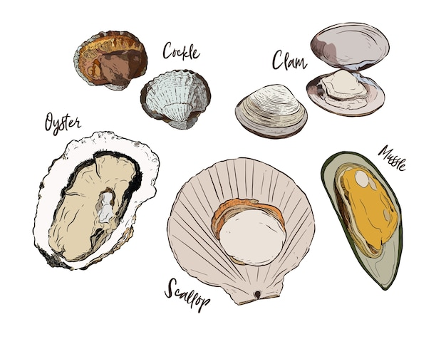 Collection of shell, hand draw sketch vector. seafood set.