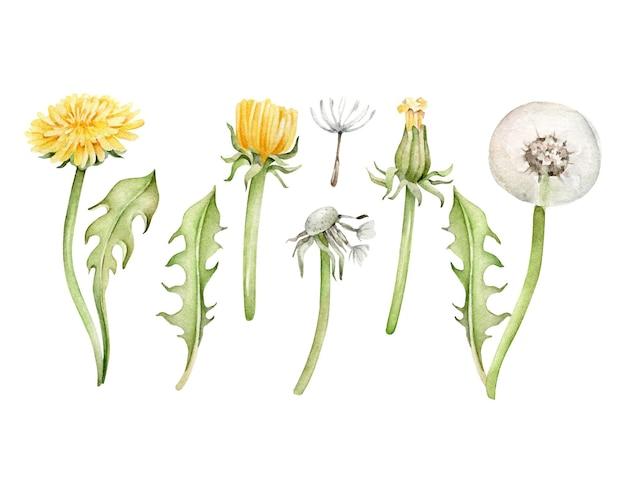 Collection of watercolor dandelion