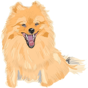 Color sketch of the dog german toy pomeranian breed smile