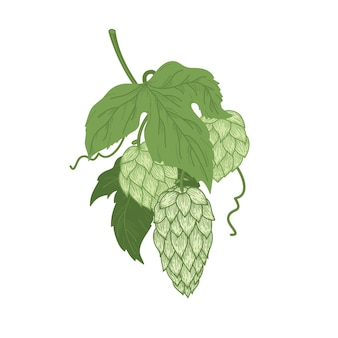 Color sketch of hop plant, bunch of hops with leaves and hop cones in engraving style.