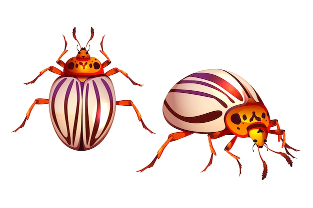 Colorado beetle, potato bug realistic striped pest