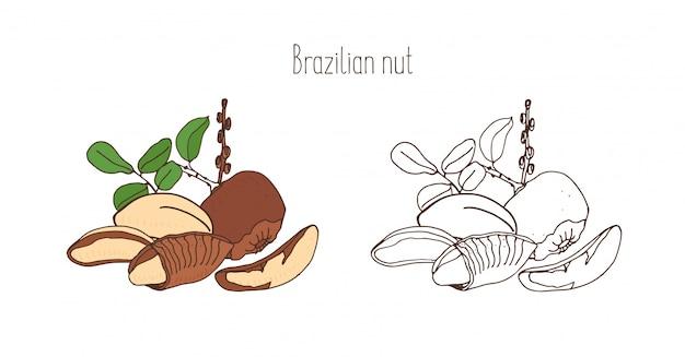 잎 브라질 너트의 컬러 및 흑백 그림