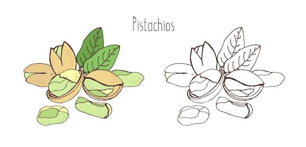 껍질에 피스타치오와 한 쌍의 잎으로 껍질을 벗긴 피스타치오의 컬러 및 흑백 그림. 우아한 빈티지 스타일로 그린 맛있는 식용 핵과 또는 너트 손. 자연 벡터 일러스트 레이 션.