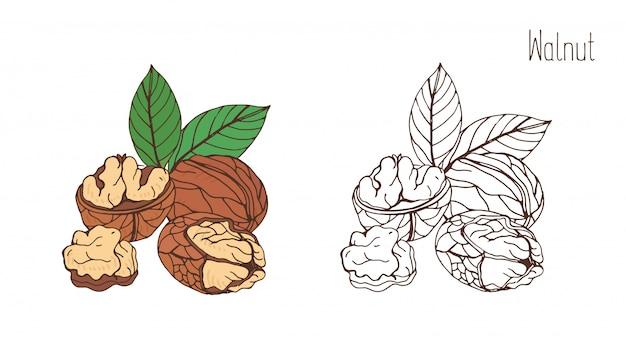 Цветные и монохромные рисунки грецкого ореха в скорлупе и обшитые парой листьев. вкусный съедобный костянка или орех