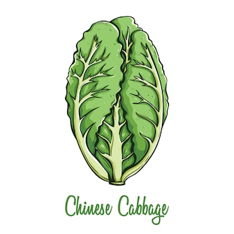 Colored fresh chinese cabbage in hand drawn style with text