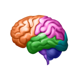 Colored human brain divided into areas side view close up